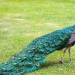 Por qué el pavo real se llama pavo real