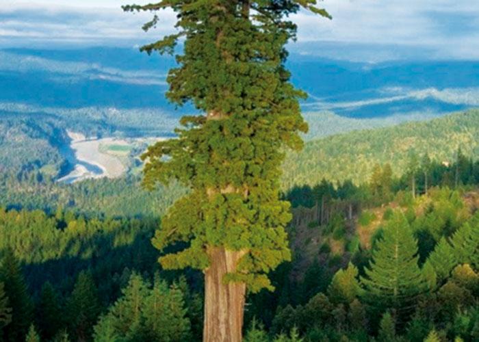 El árbol más alto y el árbol más grueso del mundo