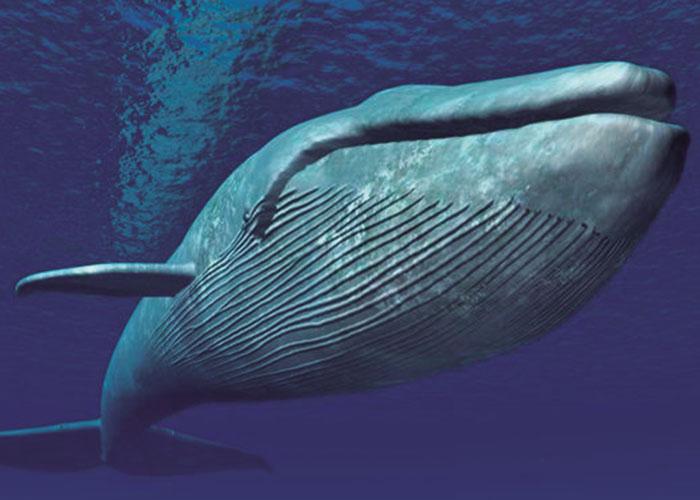 La ballena más grande del mundo