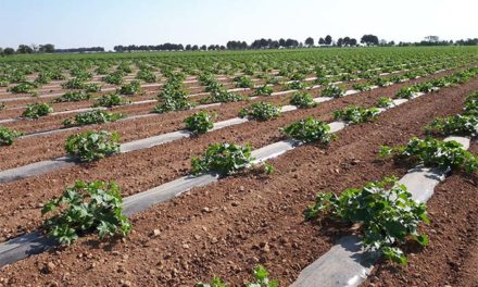 La Interprofesional de melón y sandía de Castilla-La Mancha pide al sector que haga una planificación de siembra adecuada